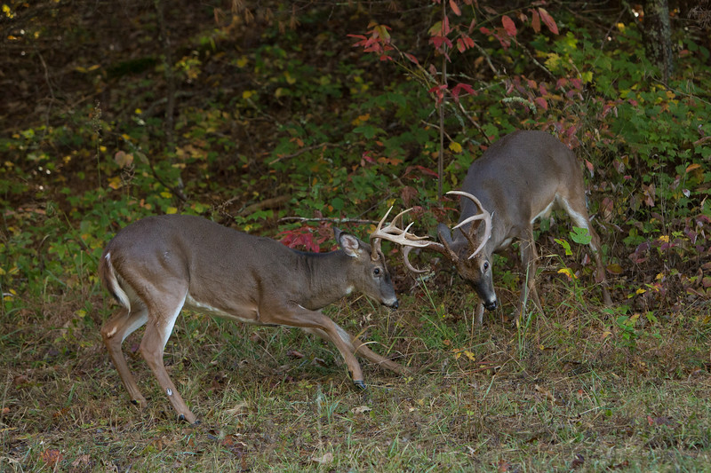 White-tailed bucks warming up for the rut.