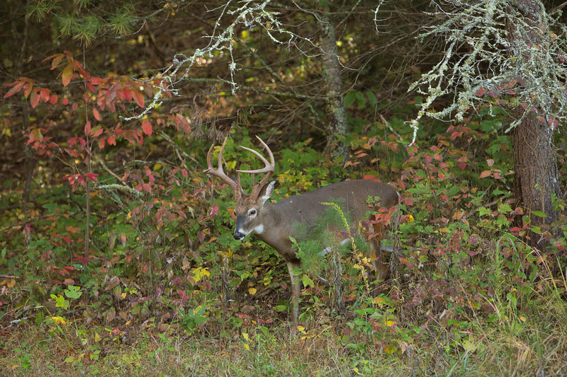 White-Tailed Buck in Autumn Woods