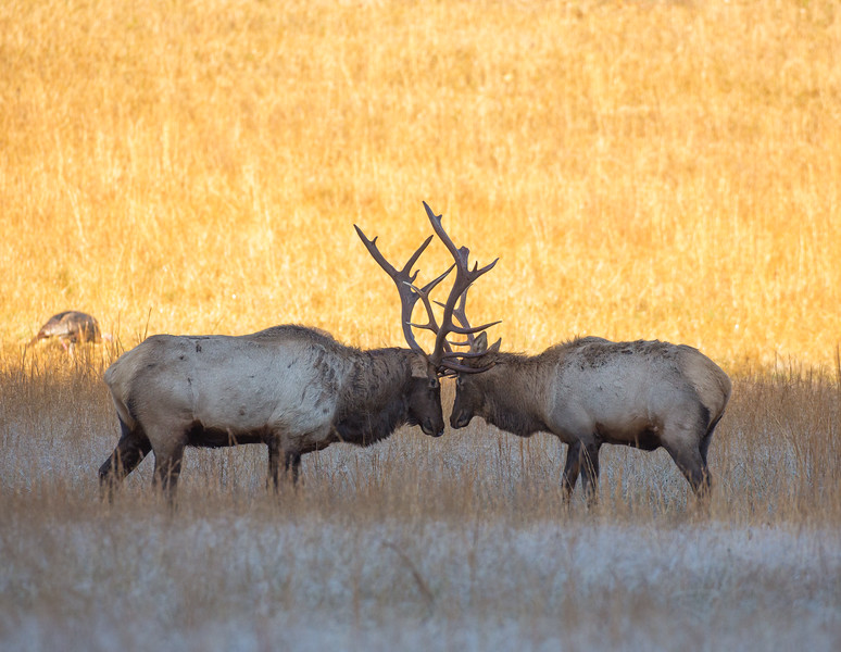 Bull elk sizing each other up during the rut