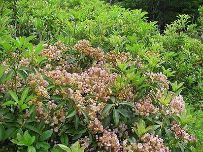 Mountain Laurel up on Russell Field, GSM, TN