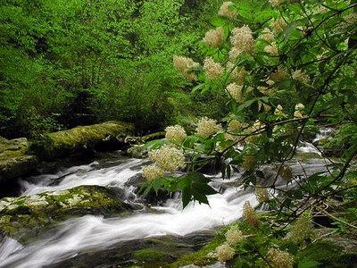 Enloe Creek in June framed by Red Elderberry Branches