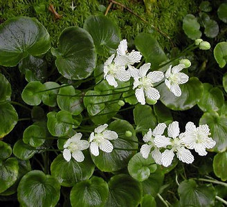 Grass O Parnassus growing alongside The Boulevard Trail near the Mt. LeConte summit