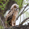 IMG_0023  Great Horned Owlet