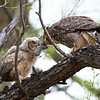 IMG_9759<br /> Great Horned Owl..Feeding a vole to her young one.<br /> Boulder County,Colorado