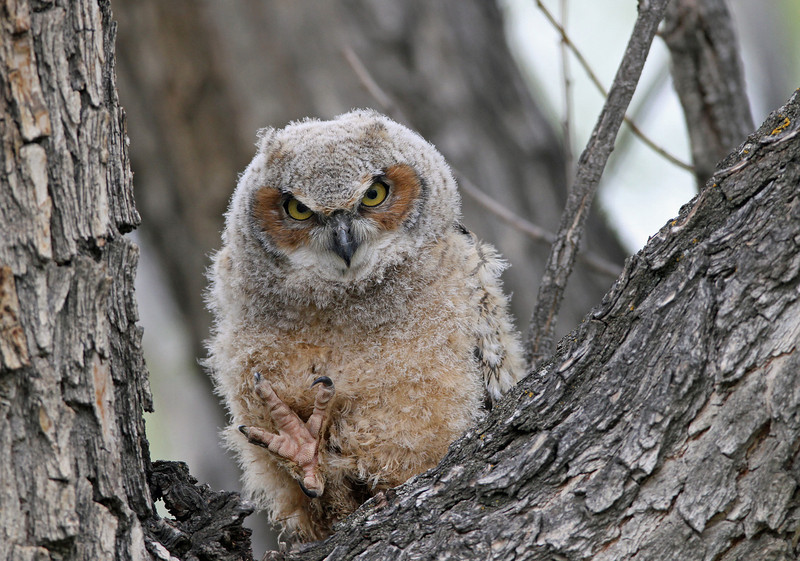 IMG_0789 Great Horned Owl Owlet<br /> Boulder County Colorado