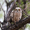 IMG_9861X Great Horned Owl..Owlet