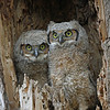 Great Horned Owl  Owlets<br /> Boulder County Colorado
