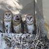 IMG_6612 Barn Owls