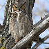 Great Horned Owl<br /> Boul;der County,Colorado