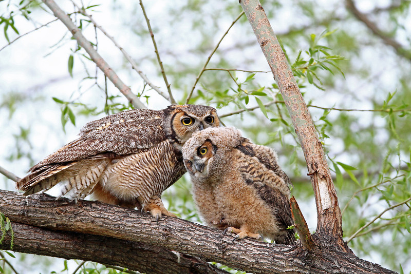 Great Horned Owls<br /> Boulder County,Colorado