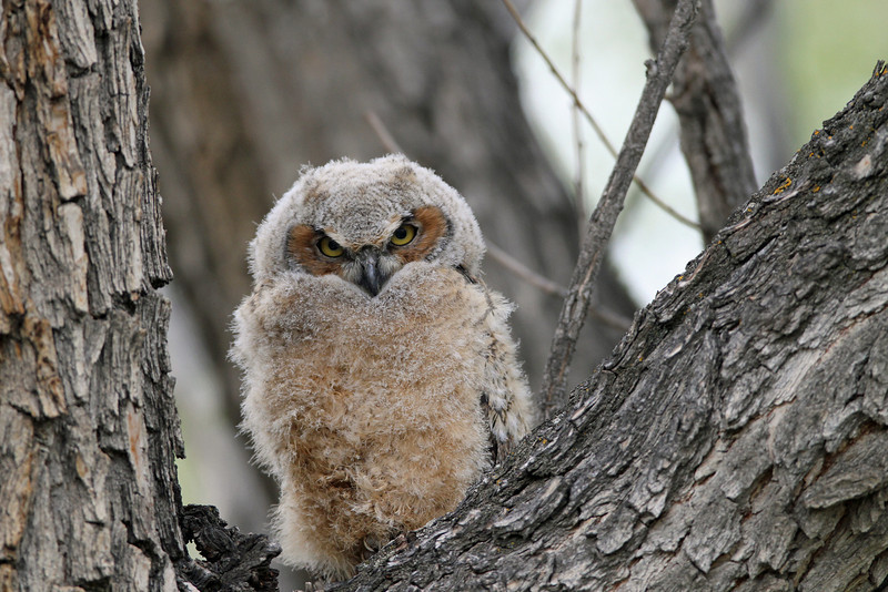 IMG_0770 Great Horned Owl..Owlet