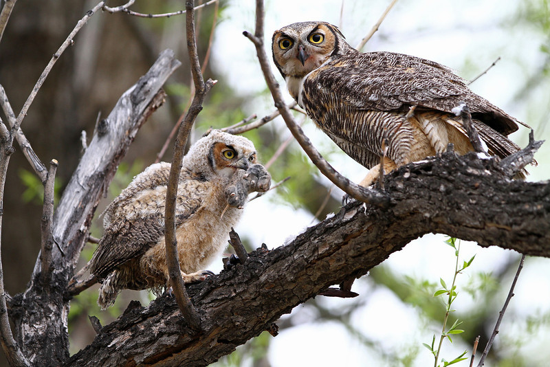 IMG_9764<br /> Great Horned Owl with her owlet<br /> Boulder County Colorado