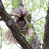 Adult Great Horned Owl.<br /> Boulder County,Colorado