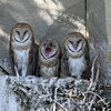 IMG_6654 Barn Owls