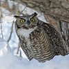 Great Horned Owl<br /> Boulder County,Colorado