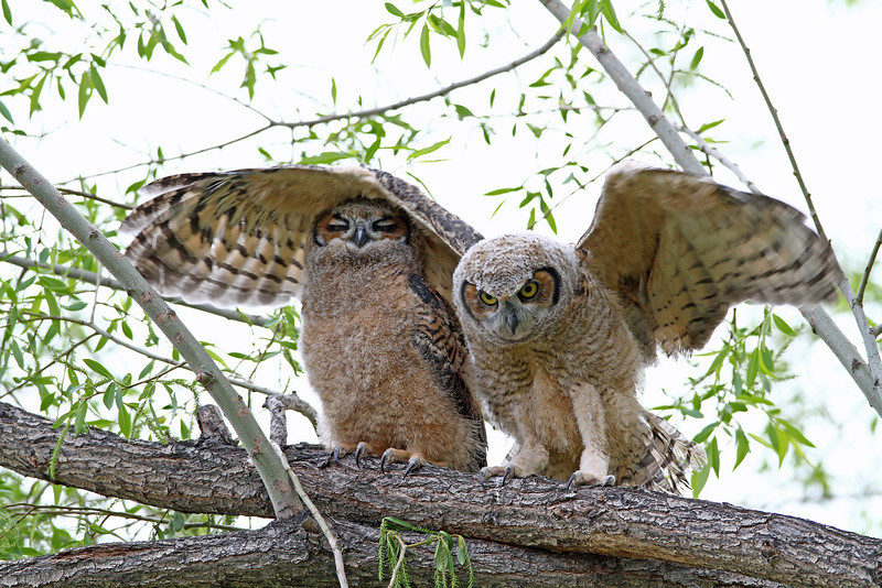 Great Horned Owls  Owlets<br /> Boulder County Colorado