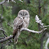 IMG_6309X Great Grey Owl