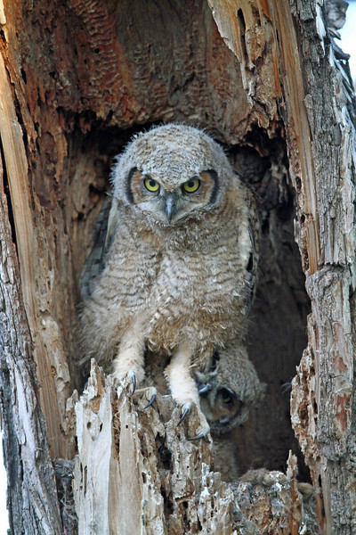 Great Horned Owl  Owlet<br /> Boulder County,Colorado