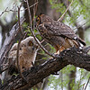 IMG_9856X Great Horned Owl,with her Owlet