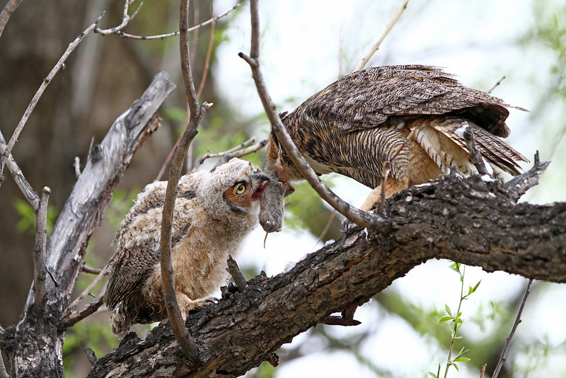 IMG_9756<br /> Great Horned Owl feeding her owlet a vole.<br /> Boulder County Colorado<br /> Published in Colorado Outdoors Magazine<br /> Nov/Dec 2011