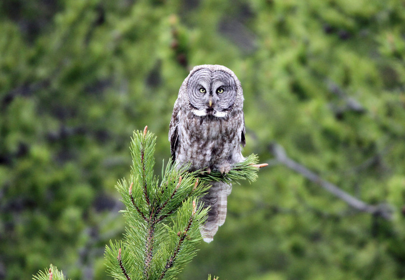 IMG_6163 Great Grey Owl