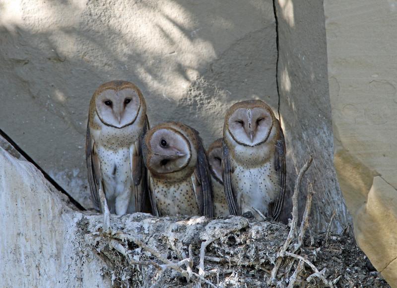 IMG_6633 Barn Owls