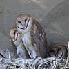 IMG_6755 Barn Owls