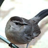 Grey Catbird, Bryant Park