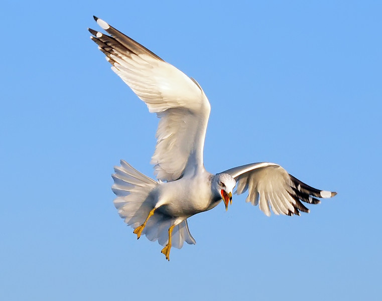 Ring-billed Gull, Rye Beach, 12/31/12