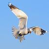 Ring-billed Gull, Rye Beach, 12/31/12
