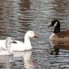 Snow Geese and Canada Goose, Van Cortlandt Park