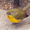 Yellow-breasted Chat, Bryant Park, NYC