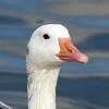 Snow Goose, Tibbetts Brook Park