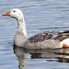 Snow Goose (Morph), Tibbetts Brook Park