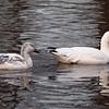 Snow Geese, Van Cortlandt Park