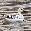 Snow Goose, Van Cortlandt Park