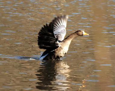 Birds, Rarities in NY area, Fall 2011