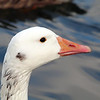 Snow Goose, Tibbetts Brook Park
