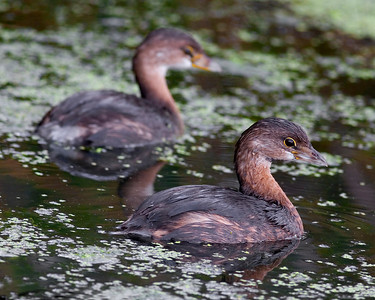 This photograph of Pied-billed Grebes was taken at Green Cay Wetlands in Boyton Beach, Florida (11/07).   This photograph is protected by the U.S. Copyright Laws and shall not to be downloaded or reproduced by any means without the formal written permission of Ken Conger Photography.