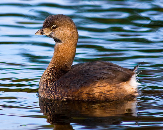 This photograph of a Pied-billed Grebe was captured in Florida's Green Cay Wetlands in Boynton Beach, Florida (12/08).   This photograph is protected by the U.S. Copyright Laws and shall not to be downloaded or reproduced by any means without the formal written permission of Ken Conger Photography.