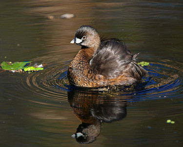 This Pied-billed Grebe photograph was captured at Corkscrew Swamp Sanctuary (2/07).  This photograph is protected by the U.S. Copyright Laws and shall not to be downloaded or reproduced by any means without the formal written permission of Ken Conger Photography.