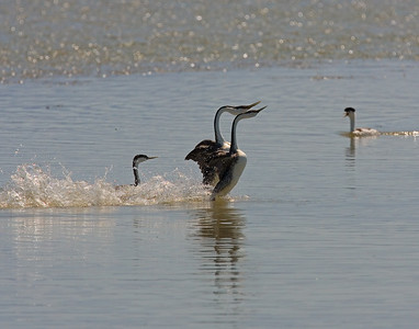 This photograph of the courtship dance of Grebes was captured in Bear River National Wildlife Refuge, UT (6/07).   This photograph is protected by the U.S. Copyright Laws and shall not to be downloaded or reproduced by any means without the formal written permission of Ken Conger Photography.
