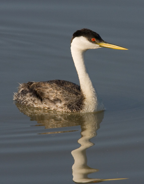 This Western Grebe photograph was captured in Bear River National Wildlife Refuge, UT (6/07).   This photograph is protected by the U.S. Copyright Laws and shall not to be downloaded or reproduced by any means without the formal written permission of Ken Conger Photography.