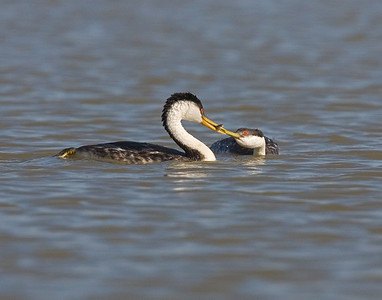 This photograph of the courtship move by the male Grebe passing a minnow to the female was captured in Bear River National Wildlife Refuge, UT (6/07).   This photograph is protected by the U.S. Copyright Laws and shall not to be downloaded or reproduced by any means without the formal written permission of Ken Conger Photography.