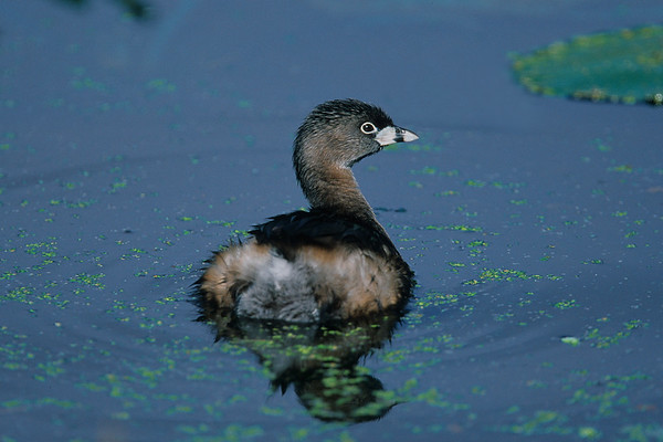 This photograph of a Pied-billed Grebe was captured at Wakodahatchee Wetlands in Delray Beach, Florida (4/05).   This photograph is protected by the U.S. Copyright Laws and shall not to be downloaded or reproduced by any means without the formal written permission of Ken Conger Photography.