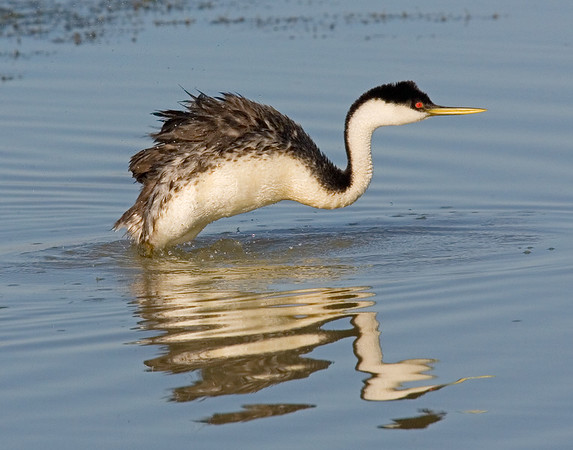 This photograph a Western Grebe was captured in Bear River National Wildlife Refuge, UT (6/07).   This photograph is protected by the U.S. Copyright Laws and shall not to be downloaded or reproduced by any means without the formal written permission of Ken Conger Photography.
