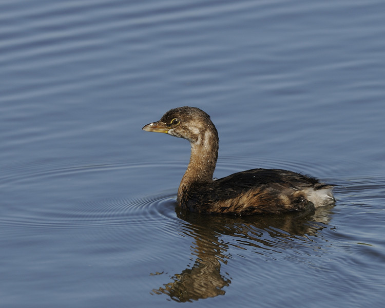 Pied-billed Grebe (3)