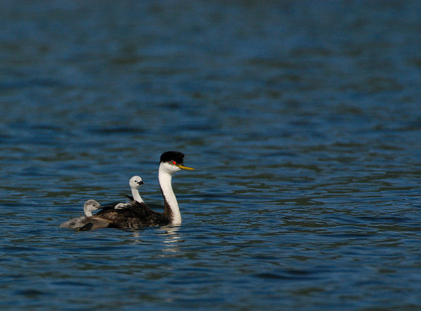Western Grebes swim with young