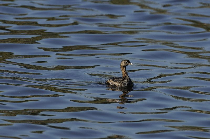 Pied-billed Grebe (6)