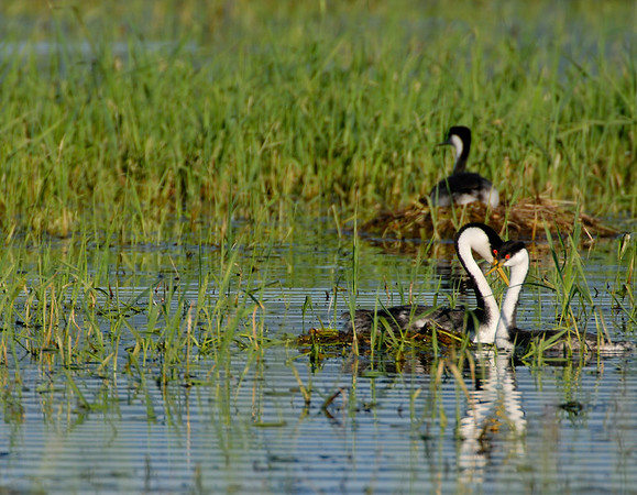 Western Grebes in Cascade Lake, idaho